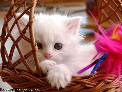 داسنتنیها,گربه,تنفر <a href='/tag%DA%AF%D8%B1%D8%A8%D9%87.php'>گربه</a> از آب,نگهداری گربه