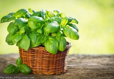 ریحان,خواص ریحان,رشد مو,داروی گیاهی برای رشد مو