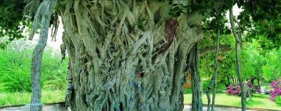 درختان انجیر معابد