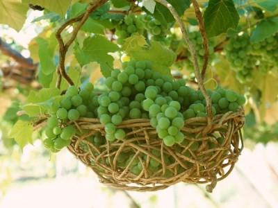 غوره یا انگور نارس فوائد آن در طب سنتی