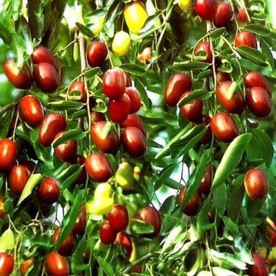 فواید میوه عناب ، حقایق تغذیه ای و نحوه استفاده