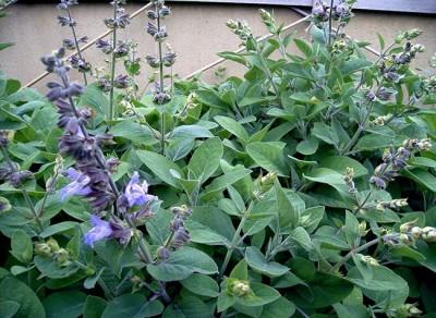 فواید و کاربردهای مریم گلی در طب سنتی وآشپزی