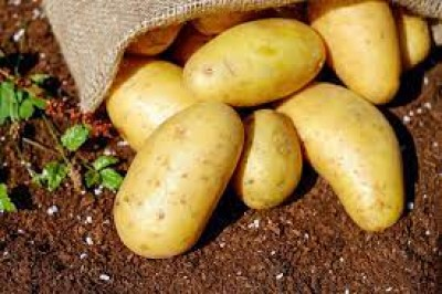 آیا سیب زمینی زرد برای شما مفید است؟